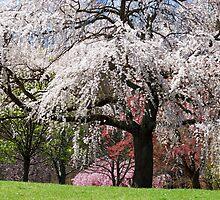 Blossom by Daniel B McNeill