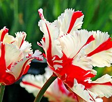 Red & White Flowers by Daniel B McNeill