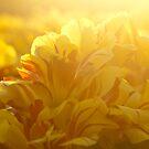 Monsella Tulip 2 by G. Patrick Colvin