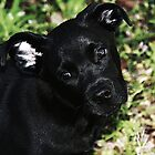 Black Pup II by Ginger  Barritt