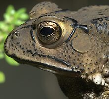 Common Asiatic Toad or Black-spined Toad, Duttaphrynus melanostictus, Thailand by Michal Cerny