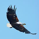 African Fish Eagle (Haliaeetus vocifer) by Neville Jones