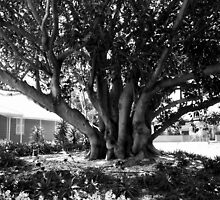 Moreton Bay Fig by Maggie Hegarty