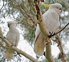 Pair of Cockies by jayneeldred
