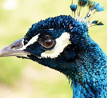 Peacock's New Crown by lmaiphotography