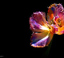 Frazzled Tulip Showing Off by alan shapiro