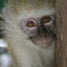 Orphan Vervet Monkey by Suzy Harrison