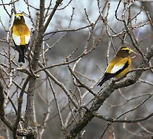 """  Evening Grosbeaks  "" by fortner"