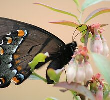 Butterfly on a Blueberry Blossom by DebbieCHayes