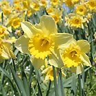 Daffodils by Jeanne Horak-Druiff