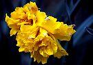 Double Daffodil by Svetlana Sewell