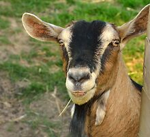 billy the goat by Steve