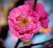 Cherry Blossom  by emiphotography
