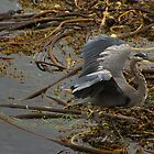 Heron by sprucedimages