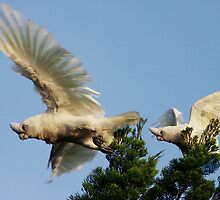 Little Corellas at play by flexigav