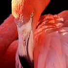 Cuban Flamingo Grooming by SerenaB