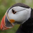Puffin on Skomer Island by Suzy Harrison
