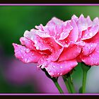 Rain Kissed Rose by Gail Jones