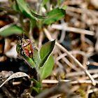 Shield Bug by Will Priestley