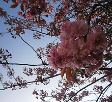 cherry blossom by stefwest21