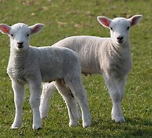 Pair of lambs by StefanFierros