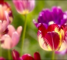 Tulips landscape. by Brown Sugar . Views (411) . Favs (8). Ola la , so good !!!  Thank you friends !!! Happy Easter !!! Amen ! by © Andrzej Goszcz,M.D. Ph.D