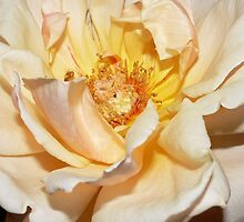 Peach Rose by K Cassidy