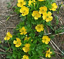 Pygmy Buttercup by Vickie Emms