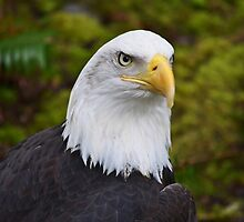 Bald Eagle by Kathy Yates