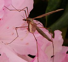 THE WINGED  CRANE FLY by RoseMarie747