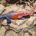 East African Rainbow Agama, Mating by Carole-Anne