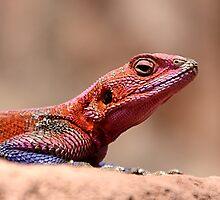 East African Rainbow Agama Lizard, Male by Carole-Anne