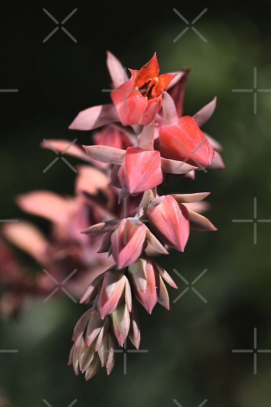 Cactus Bloom by Joy Watson