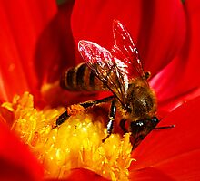 Honey Bee on Red Dahlia  by Bev Pascoe