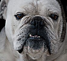 Mad Max - Cute Bulldog with grumpy face by dgphotos