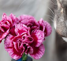Curiosity - Maine Coon cat and flower no2 by elainejhillson