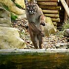 Leaping Puma by Mark Hughes