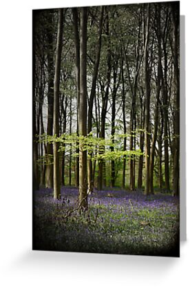 Micheldever bluebell woods by Catherine Hadler