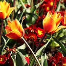 red and yellow loving tulips by xxnatbxx