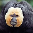 White faced Saki Monkey, Zoo, Netherlands. by JF Gasser