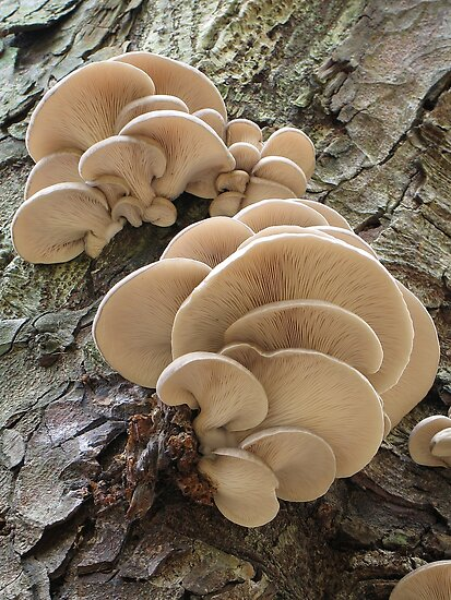 Oyster mushrooms by Jane Corey