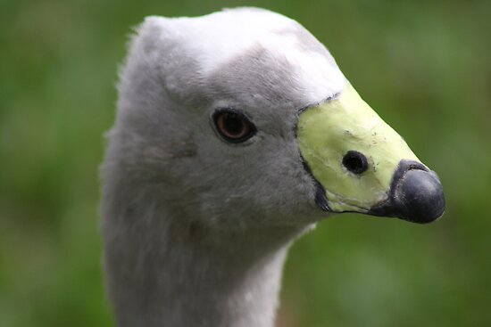 Cape Barren Goose by sarah ward