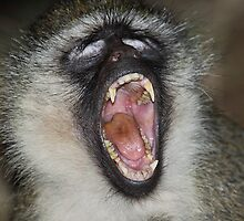 Yawn! Black-faced Vervet Monkey, Kenya.  by Carole-Anne