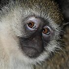 Black-faced Vervet Monkey, Kenya. by Carole-Anne