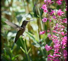Hummingbird on Parry's Penstemon by Saija  Lehtonen