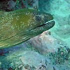 Moray eel by Travis Graham
