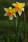 SPRING SUNSHINE by Sandy Stewart