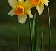 SPRING SUNSHINE by Sandy Stewart