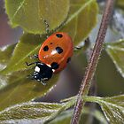 Ladybird on Wisteria by Chris Monks