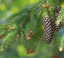 Pine Cone by vbk70
